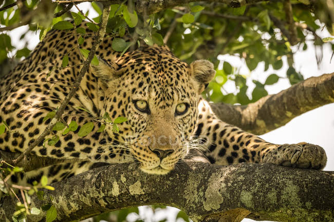 Majestic and beautiful leopard relaxing on tree — Stock Photo