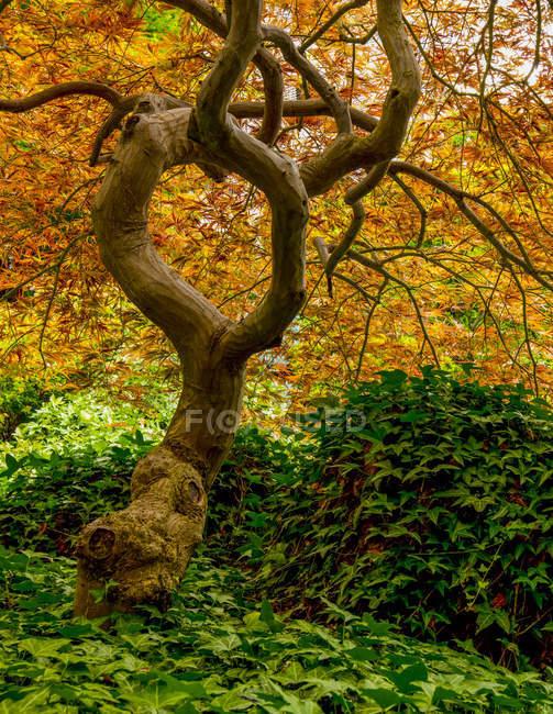 Japanese Maple (Acer palmatum), Japanese Gardens; Ванкувер, Британська Колумбія, Канада — стокове фото