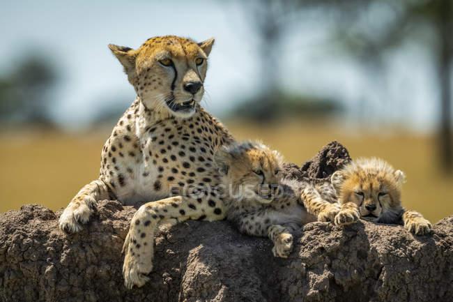 Majestätische Geparden malerisches Porträt an wilder Natur, verschwommener Hintergrund — Stockfoto