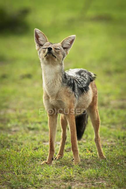 Chacal à dos noir (Canis mesomelas) debout, les yeux fermés et le nez pointu, camp Kleins, parc national du Serengeti ; Tanzanie — Photo de stock
