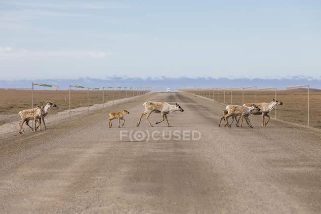 Caribou (Rangifer tarandus) crossing the Dalton Highway; Alaska, United States of America — стокове фото