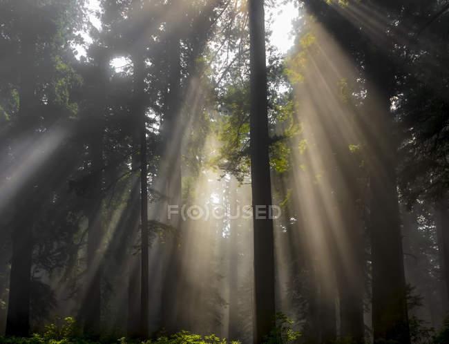 Солнце светит сквозь туманный воздух в лесу; Калифорния, США — стоковое фото