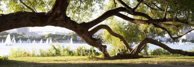 Willow Tree dans un parc au bord de la rivière, Charles River, Cambridge, Boston, Massachusetts, USA — Photo de stock