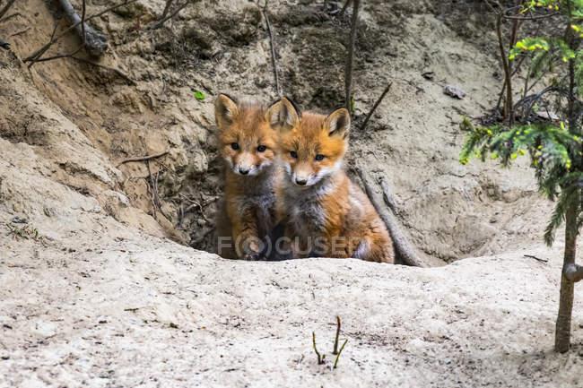 Пара червоних лисиць (Vulpes vulpes), що визирають з нори біля Фербенксу (Аляска, США). — стокове фото