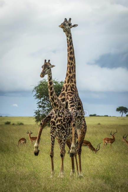 Vue panoramique de belles girafes à la vie sauvage — Photo de stock