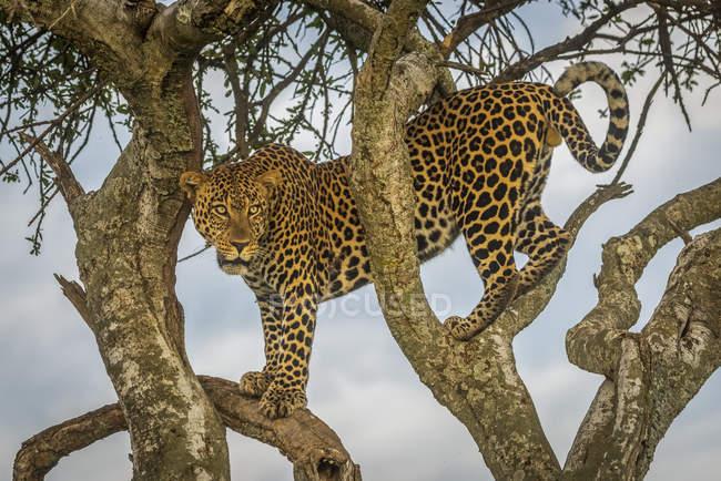 Maestoso e bellissimo leopardo seduto sull'albero — Foto stock