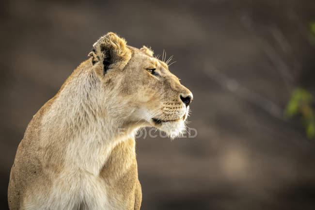Vista panorámica de majestuoso león en la naturaleza salvaje, fondo borroso - foto de stock