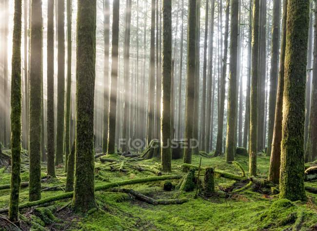 Rayos de sol a través del aire brumoso en una selva tropical; Columbia Británica, Canadá - foto de stock