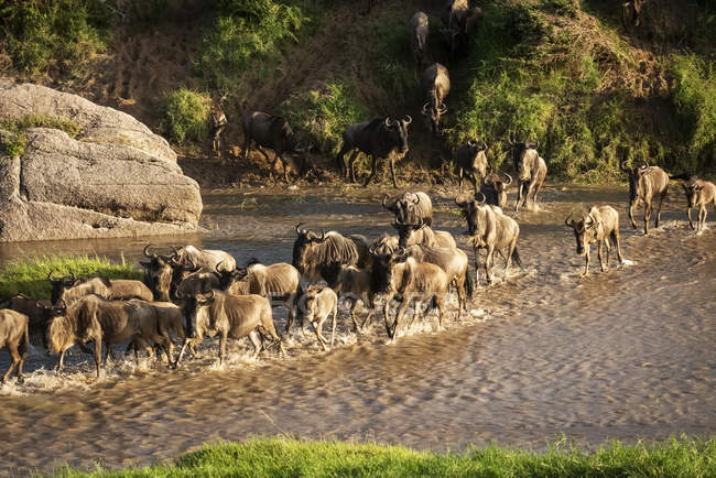 Confusion of blue wildebeest (Connochaetes taurinus) crossing shallow river, Cottar's 1920s Safari Camp, Maasai Mara National Reserve; Tanzania — Stock Photo