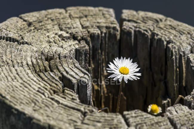 Margherita inglese (Bellis perascar) che cresce in un vecchio recinto sulla costa dell'Oregon; Depot Bay, Oregon, Stati Uniti d'America — Foto stock