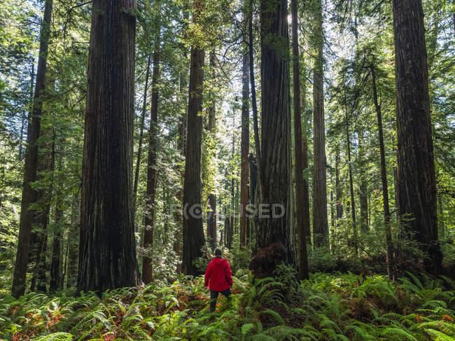 Человек, стоящий в секвойных лесах Северной Калифорнии, Калифорния, США — стоковое фото