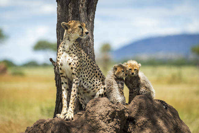 Majestic Cheetahs scenic portrait at wild nature, blurred background — Stock Photo