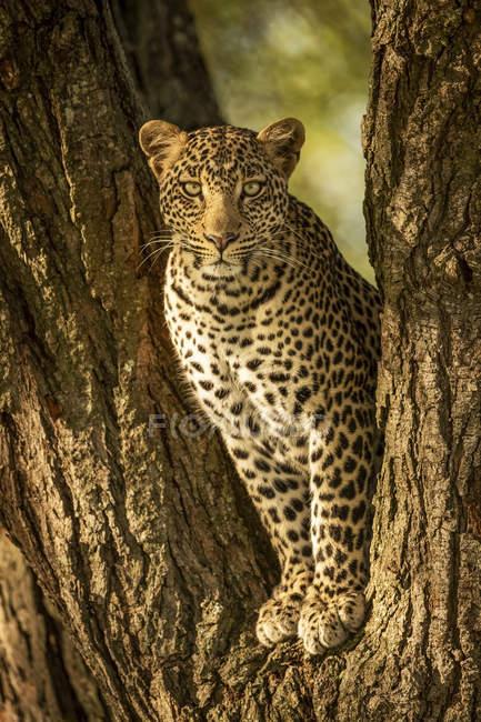 Maestoso e bellissimo leopardo rilassante sull'albero — Foto stock