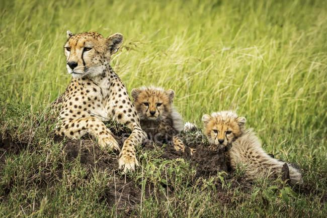 Maestoso ghepardi ritratto panoramico a natura selvaggia — Foto stock