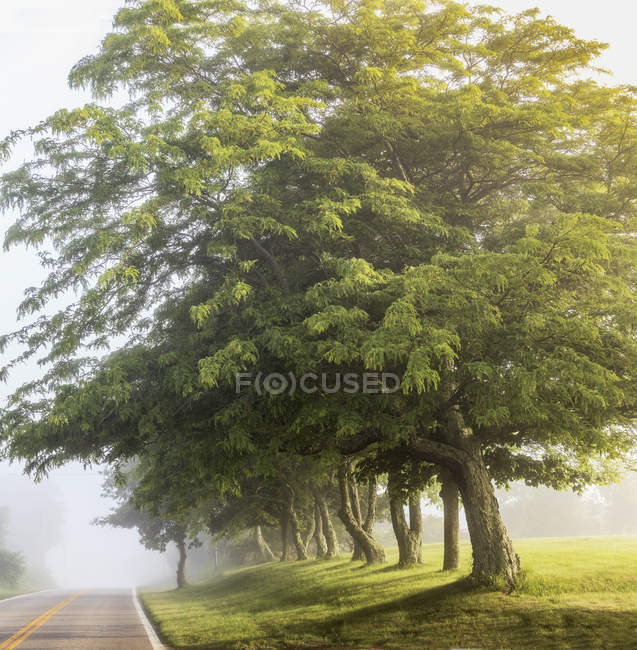 Estrada de nevoeiro de manhã cedo com árvores — Fotografia de Stock
