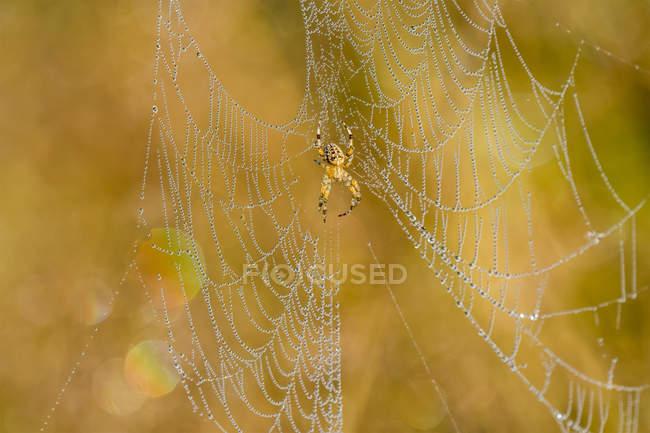Araignée de jardin européenne (Araneus diadematus) luisant sous une lumière du matin dorée dans un pré de l'Oregon ; Astoria, Oregon, États-Unis d'Amérique — Photo de stock