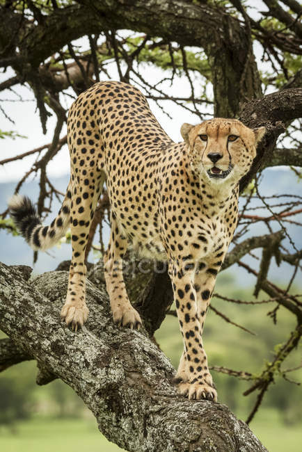 Male cheetah (Acinonyx jubatus) standing on tree trunk looking right, Kleins Camp, Serengeti National Park; Tanzania — Stock Photo