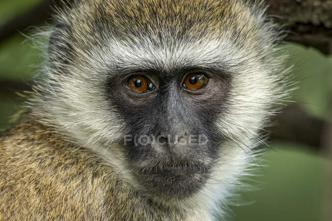 Close-up of vervet monkey face (Chlorocebus pygerythrus) watching camera, Kleins Camp, Serengeti National Park; Tanzania — Stock Photo