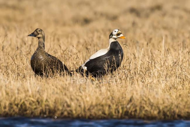 Eiders à lunettes debout dans l'herbe sèche sur le bord d'un étang de toundra — Photo de stock
