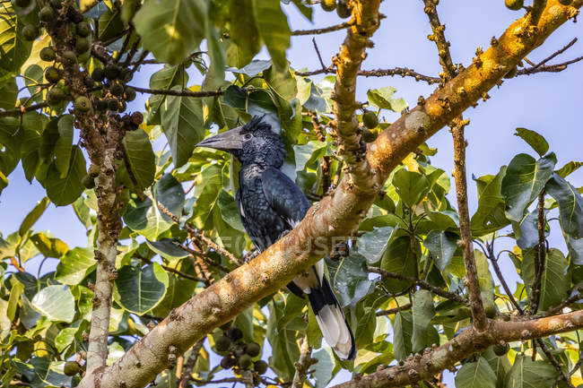 Hornbill sitting on branch at wild nature — Stock Photo