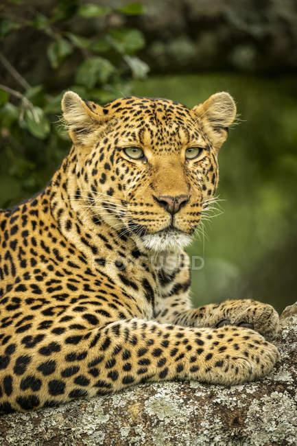 Majestuosa y hermosa vista de primer plano de leopardo - foto de stock