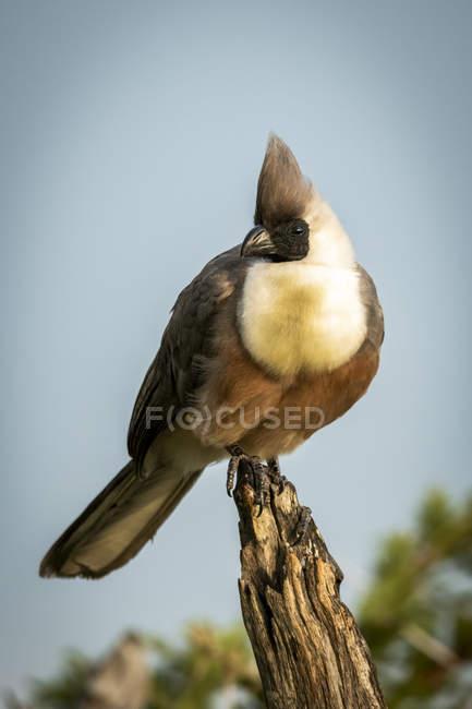 Bare-faced go-away-bird no toco da árvore — Fotografia de Stock