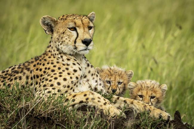 Majestätische Geparden malerisches Porträt in wilder Natur — Stockfoto