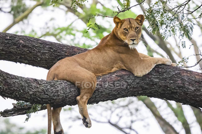 Scenic view of majestic lion lying on tree at wild nature — Stock Photo