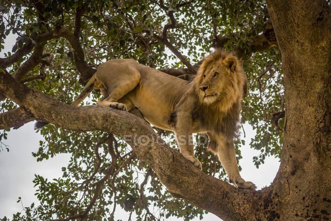 Vista panorámica del majestuoso león en la naturaleza salvaje trepando al árbol - foto de stock
