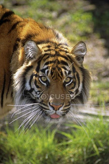 Close Up Of A Sumatran Tiger Em um zoológico EUA — Fotografia de Stock