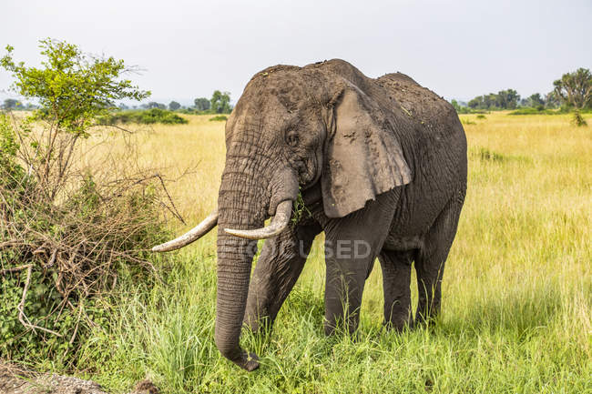 Scenic view of beautiful grey elephant at wild nature — Stock Photo