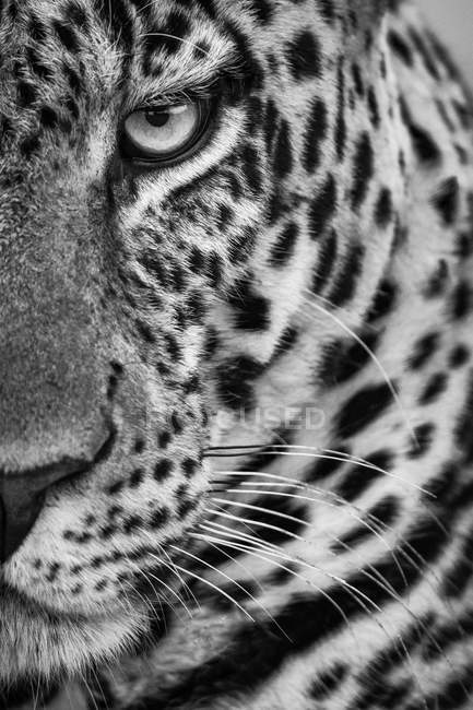 Maestoso e bellissimo leopardo, monocromatico — Foto stock
