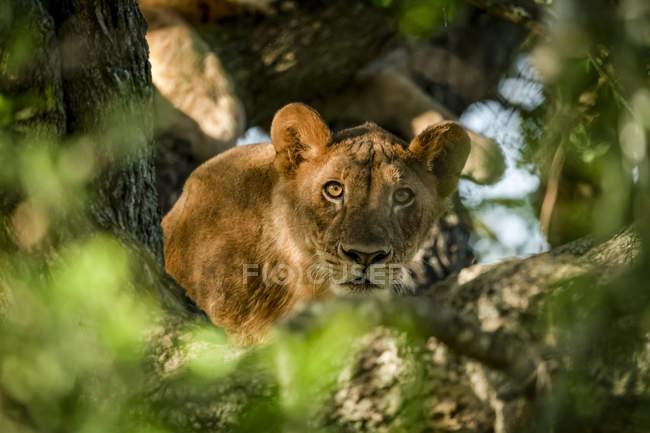 Vista panorámica de majestuoso cachorro de león en la naturaleza salvaje - foto de stock