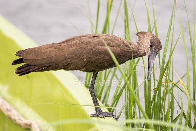 Ave hamerkop junto al agua en la naturaleza salvaje - foto de stock