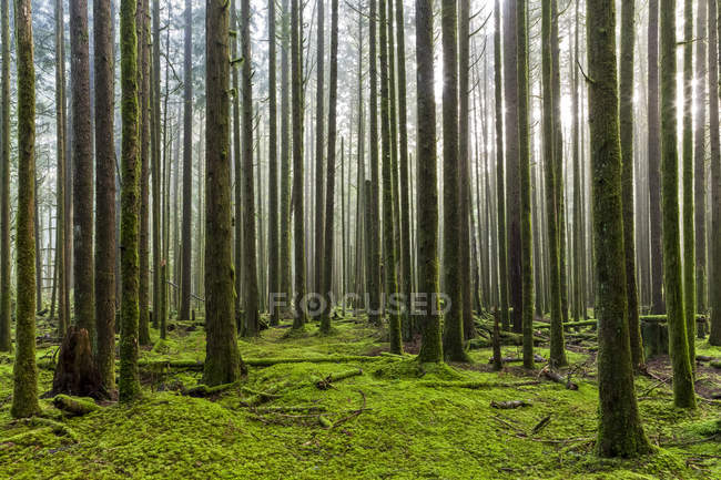 Sunlight shining through the misty air in a rainforest; British Columbia, Canada — Stock Photo