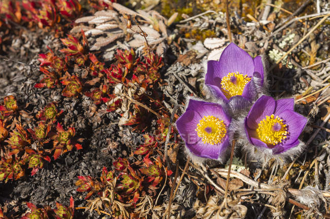 Pasqueflowers (Pulsatilla) on Donnelly Dome; Alaska, United States of America — Fotografia de Stock