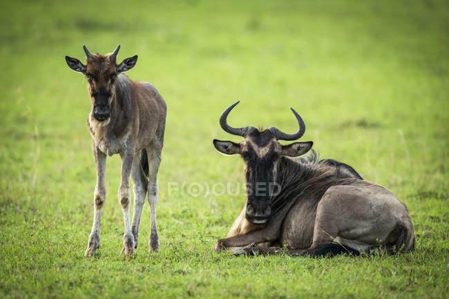 Blue wildebeest (Connochaetes taurinus) mother and calf, Kleins Camp, Serengeti National Park; Tanzania — Stock Photo