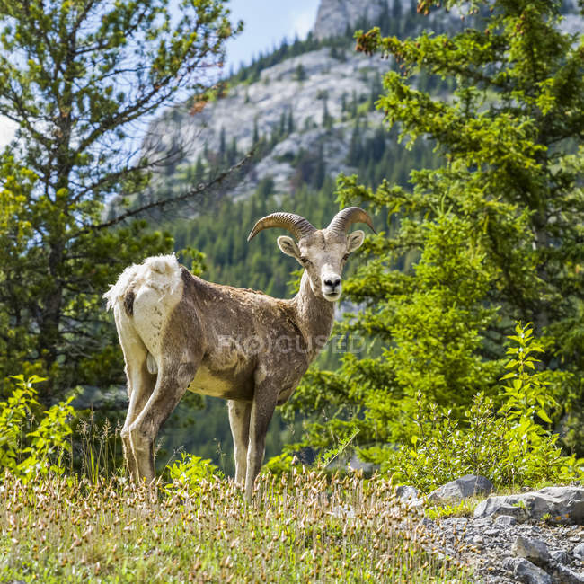 Rocky Mountain Sheep (Ovis canadensis) along the Bighorn Highway in Kananaskis Country, Peter Loughheed Provincial Park; Kananaskis Improvement District, Alberta, Canada — Stock Photo