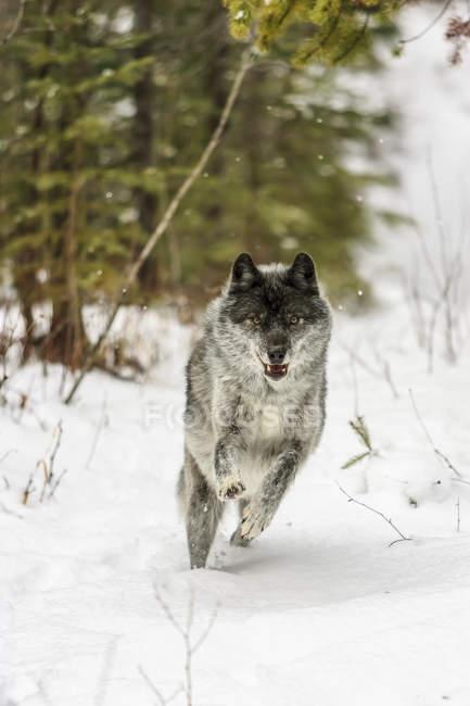 Опасный серый волк в снегу в лесу — стоковое фото