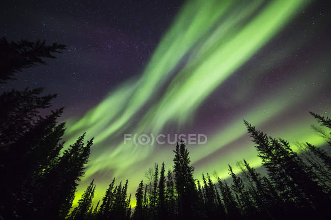 Aurora borealis over silhouetted trees at the Clearwater State Recreation Site in Delta Junction; Alaska, United States of America — Stock Photo