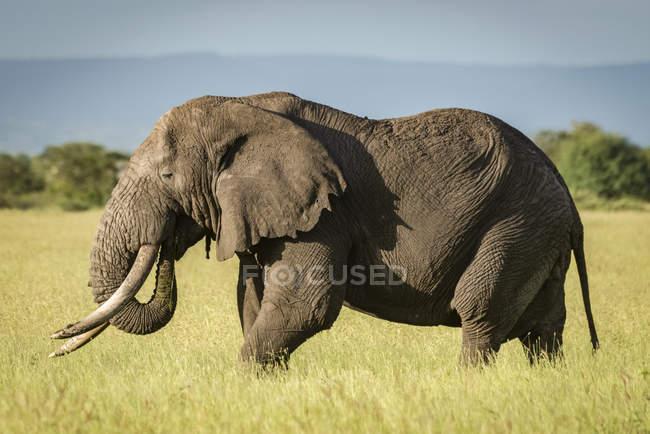 Красивый серый слон с видом на дикую природу — стоковое фото
