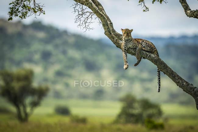 Majestuoso y hermoso leopardo relajándose en el árbol - foto de stock