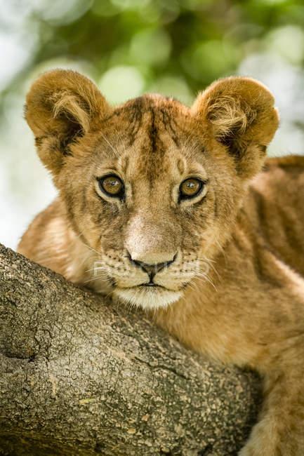 Vue panoramique de majestueux lionceaux à la nature sauvage — Photo de stock