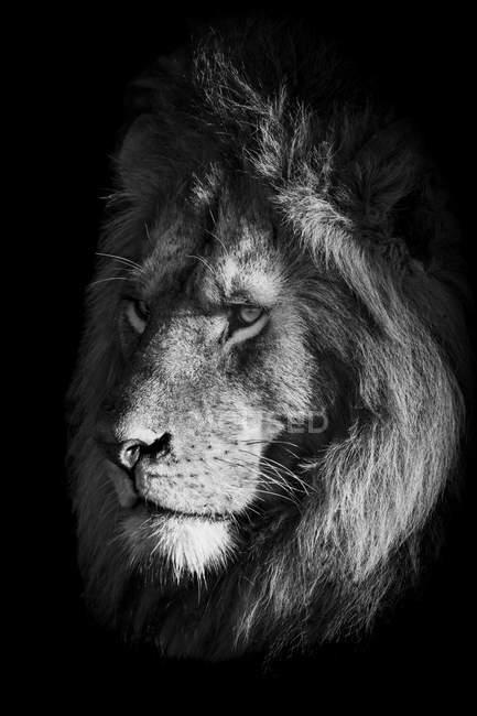 Vista panoramica di maestoso leone a natura selvaggia, monocromatico — Foto stock