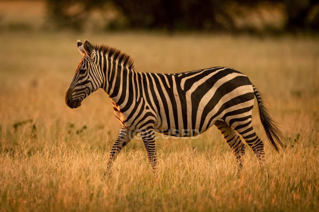 Plains zebra (Equus burchellii) walking rim lit by sunset, Grumeti Serengeti Tented Camp, Serengeti National Park; Tanzania — Stock Photo