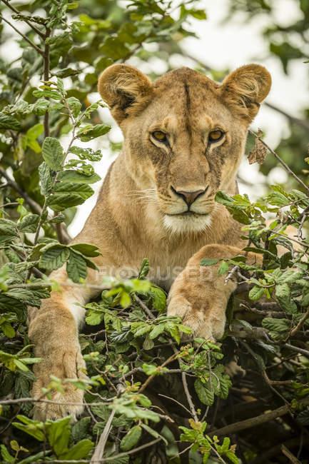 Malerischer Blick auf majestätische Löwin auf wilde Natur, die durch Laub blickt — Stockfoto