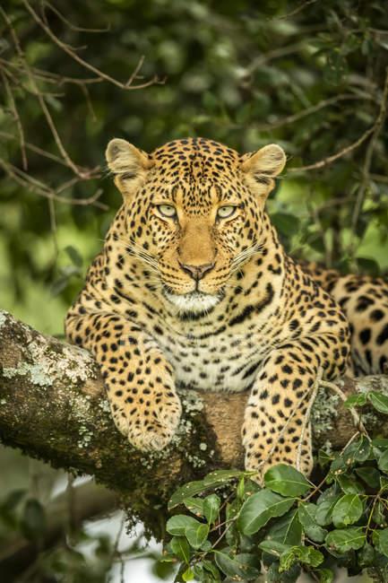 Maestoso e bellissimo leopardo primo piano vista — Foto stock