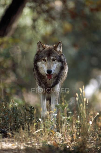 Волк, стоящий на снегу; Голден, Британская Колумбия, Канада — стоковое фото