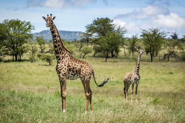 Vista panorámica de hermosas jirafas en la vida salvaje - foto de stock