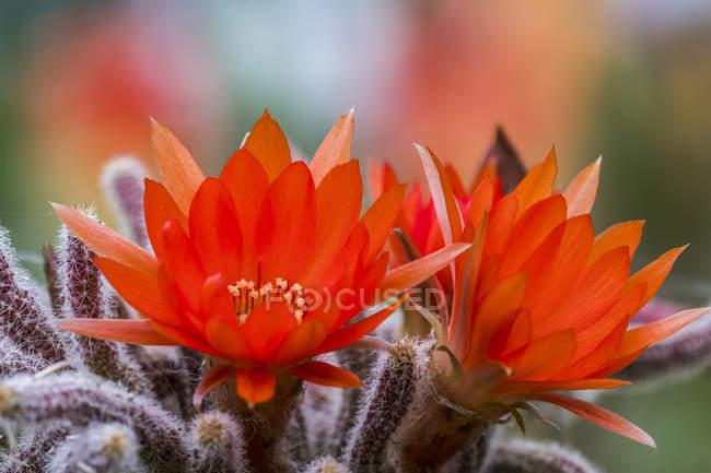 Petite plante de cactus fleurit fleurs rouges dans un pot ; Astoria, Oregon, États-Unis d'Amérique — Photo de stock